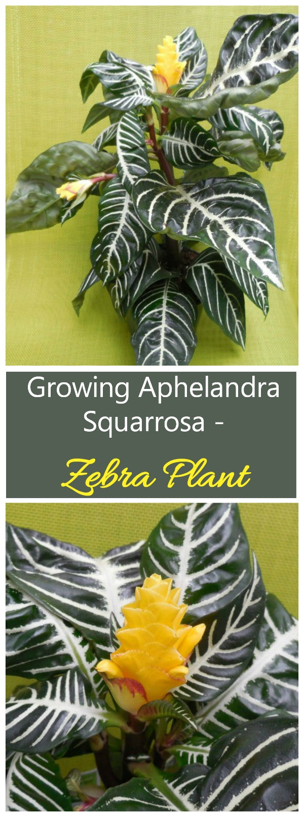 Aphelandra Squarrosa is also known as zebra plant. It is easy to see why when you look at the gorgeous striped leaves. #zebraplant #aphelandrasquarrosa