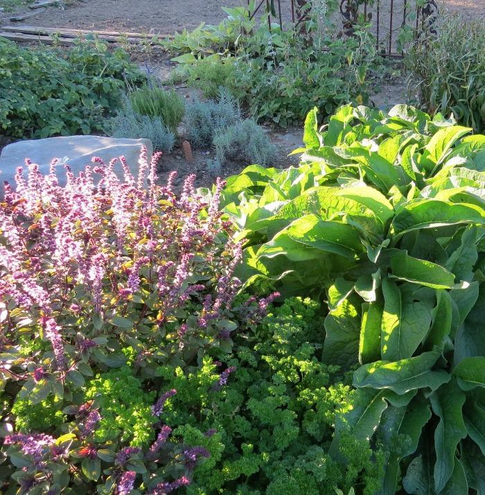 Basil flowers in a vegetable garden attract butterflies