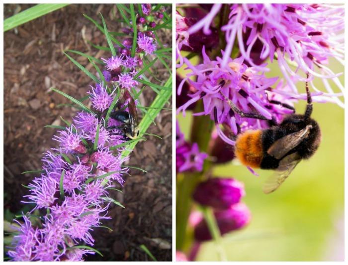 Bees love liatris