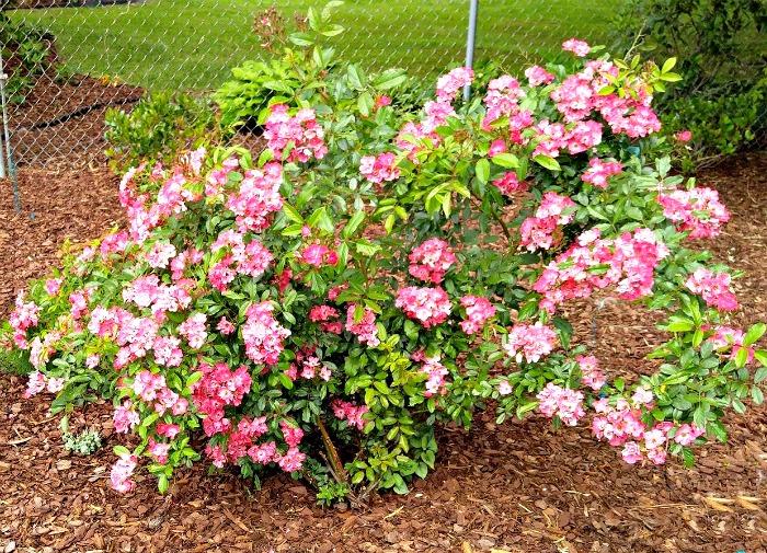 Multiflora pink rose