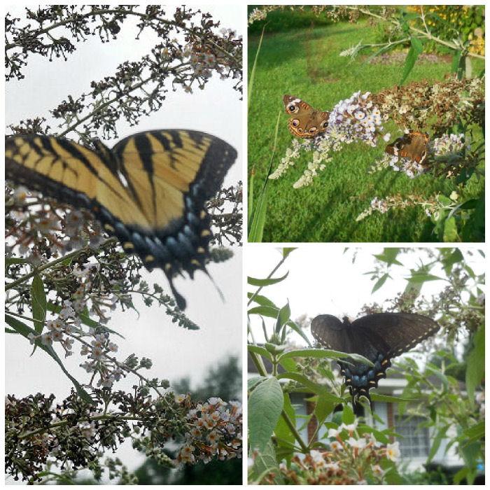 Buckeye butterflies, yellow swallowtail and Dark morph swallowtails all love buddlea bushes