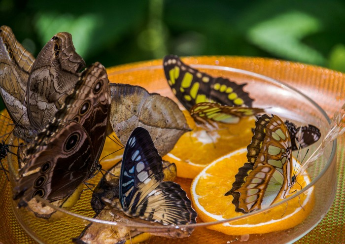 Butterflies in a dish of fruit