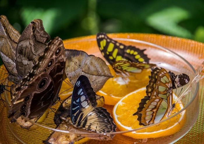 Butterflies in a dish of fruit