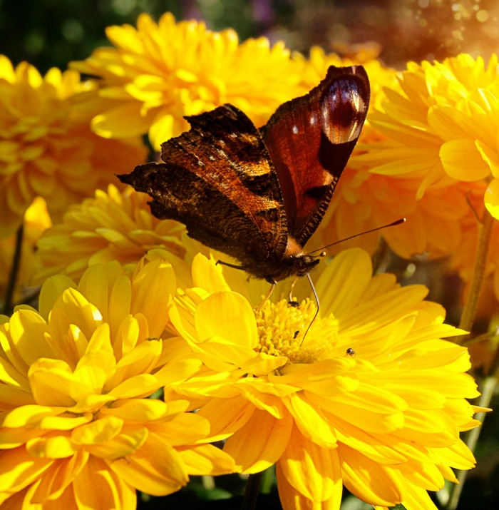 Butterflies like bright colors such as this yellow flower