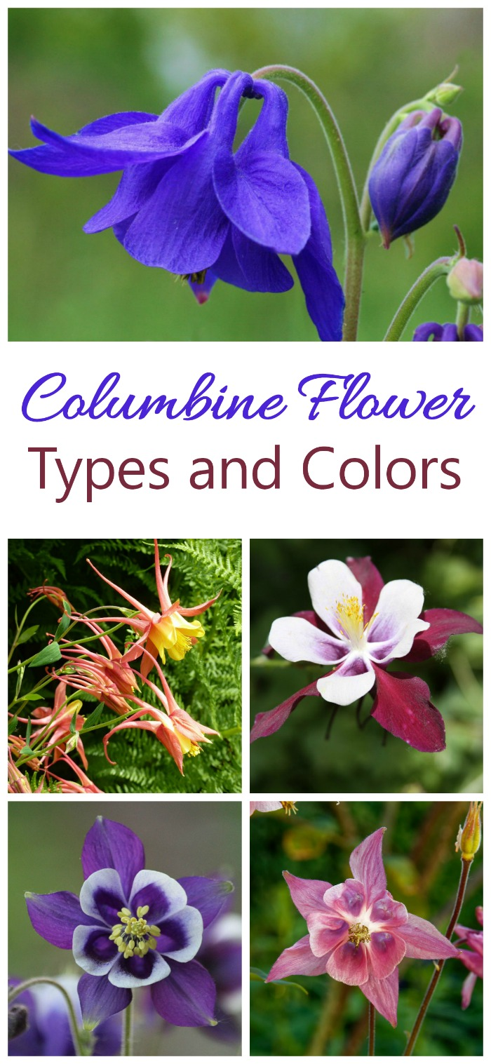 Columbine flowers come in all the colors of the rainbows and in doubles and even triple flowers
