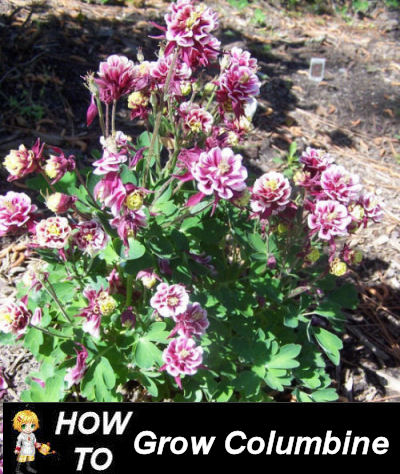 How to grow columbine
