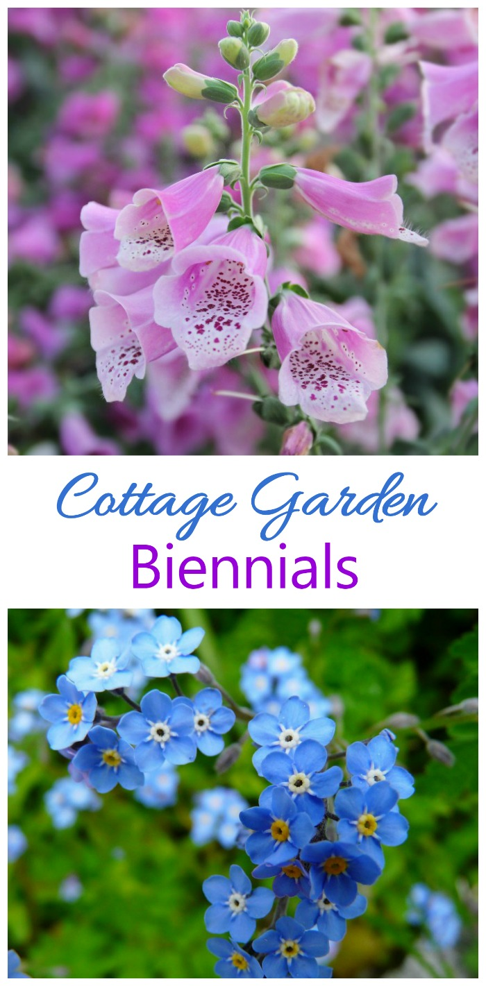 Biennials only last two years in a cottage garden but are rampant self seeders. Try foxglove and forget me not