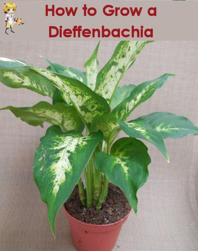 How to grow a dieffenbachia