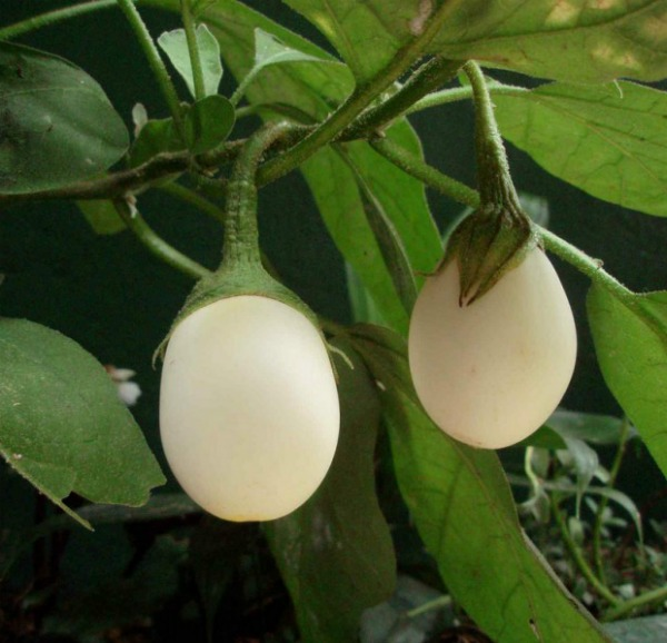 Easter Egg Plant looks like chicken's eggs.