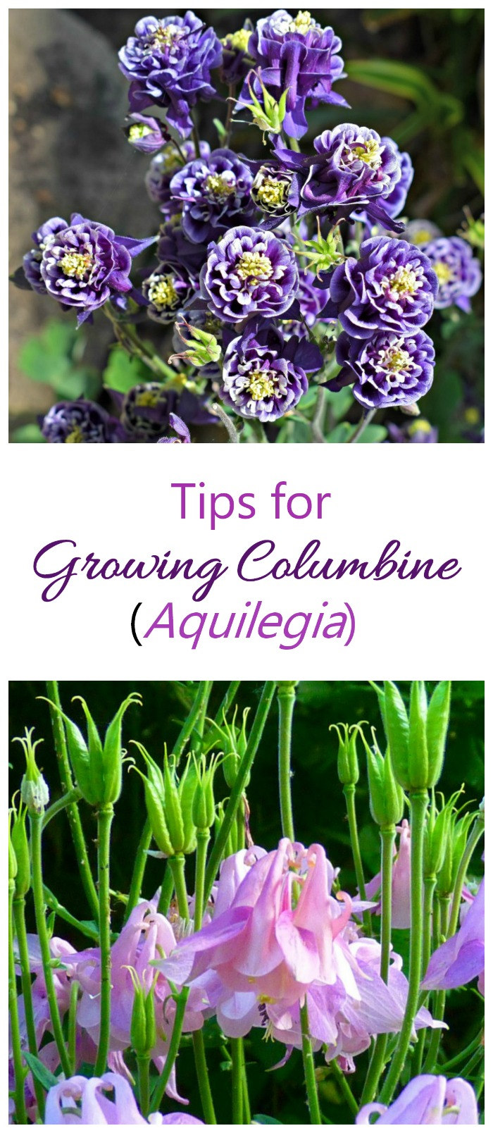 tips for growing columbine - Aquilegia. Bell shaped flowers that are very showy #columbine