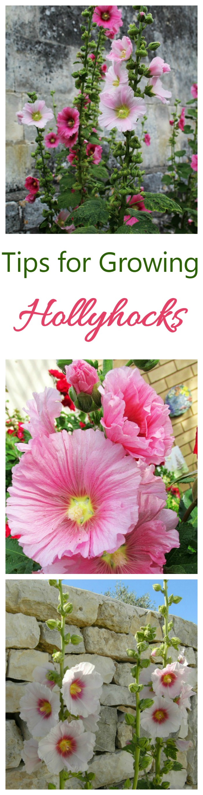 If you love cottage garden flowers, try growing hollyhocks. They add height to a garden border and bloom all summer long.
