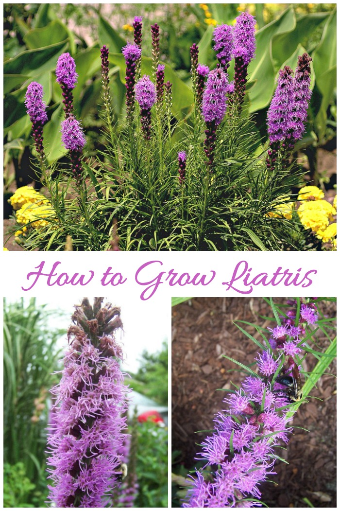 Tips for growing liatris (also called Blazing Star.) This pretty perennial bulb flowers in mid summer with a blast of purple that attracts bees and butterflies.