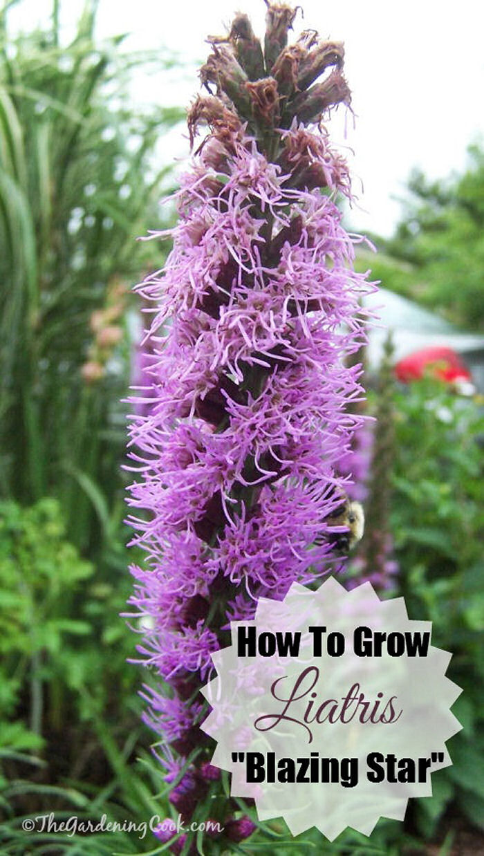 Liatris, is also called Blazing star and gay feather. It's easy to see why.