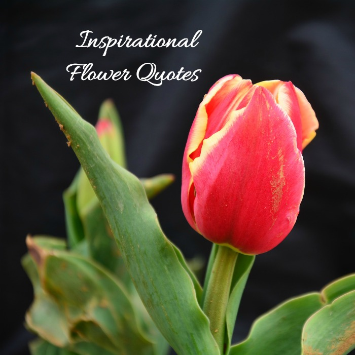 Inspirational Flower Quotes - Motivational Sayings with ...
