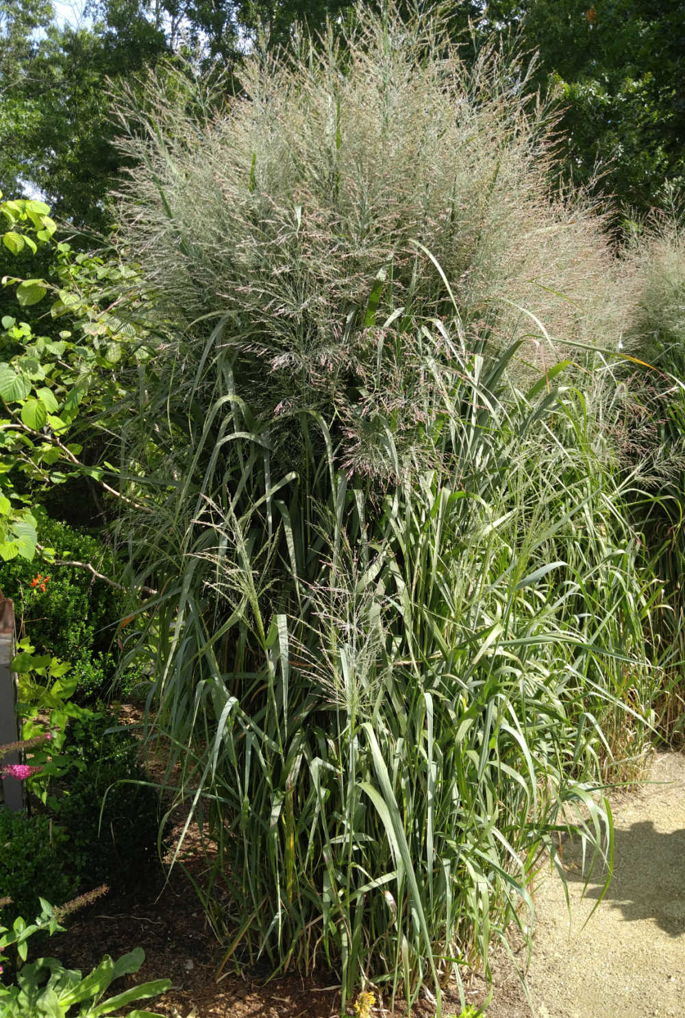 Japanese silver grass with feathery plumes on top.