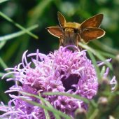 Bees and butterflies love liatris