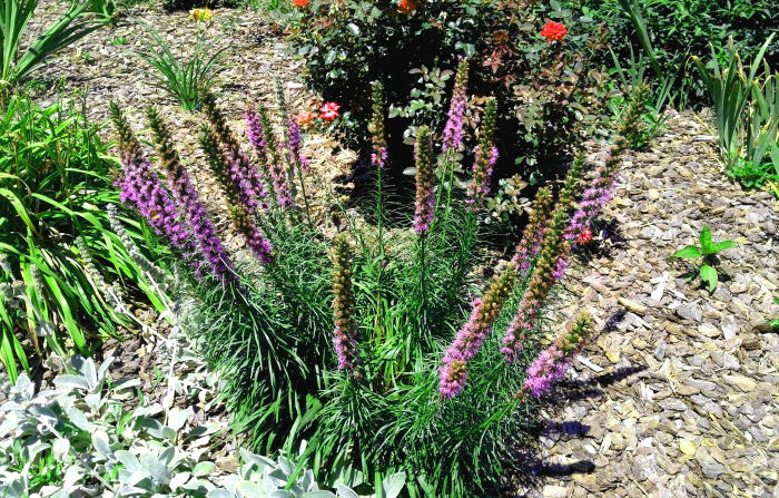 Clump of liatris in a garden bed