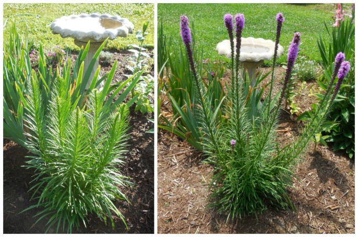Growing liatris. Plant to give it room to grow