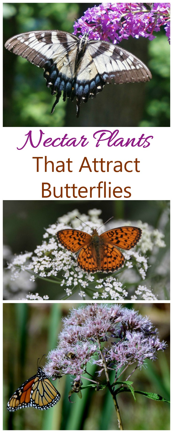 Nectar Plants such as yarrow, butterfly weed and butterfly bush are good for attracting butterflies
