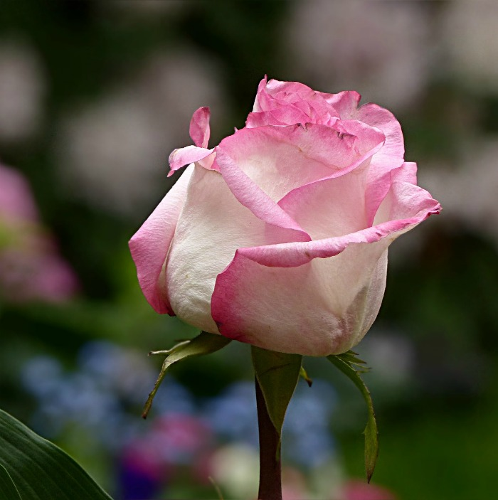 White Rose - pink edged petals