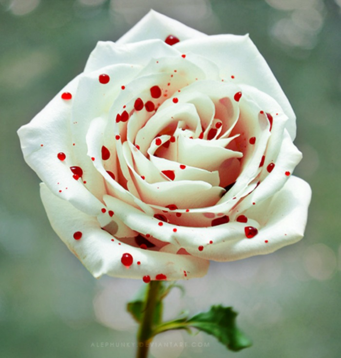 Pink and white polka dot rose