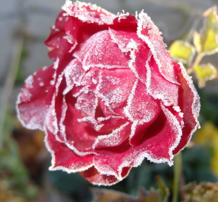 Pink rose after a frost.