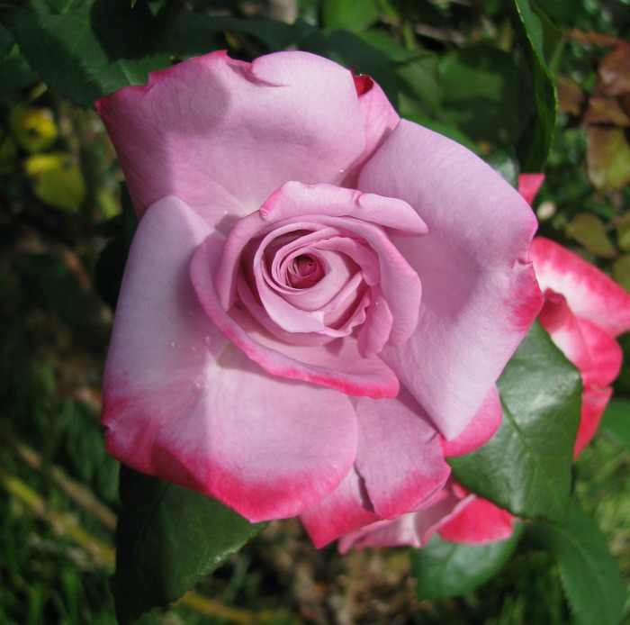 This pink rose has a delicate edging to the petals.