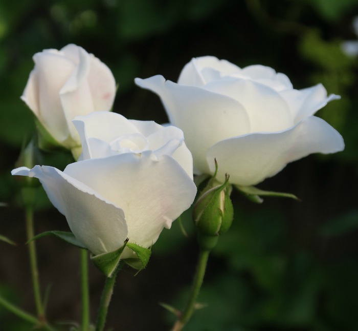White roses are so simple and elegant