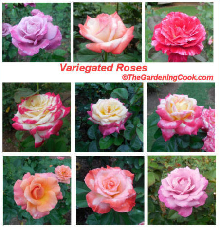 Variegated roses in Raleigh's rose garden