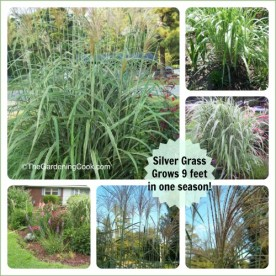 Silver grass. Amazing focal plant. Mine grew 9 feet in one season.