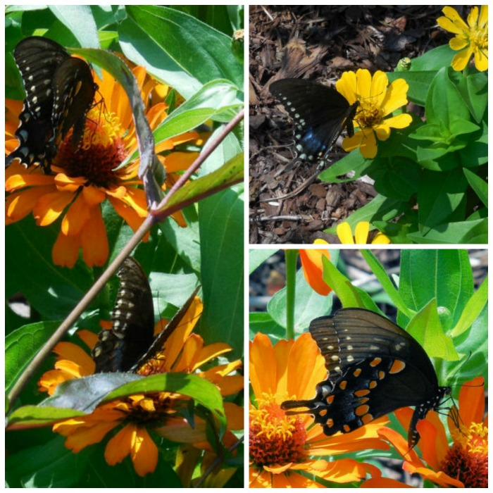 Swallow tail butterflies feasting on the nectar of zinnia plants