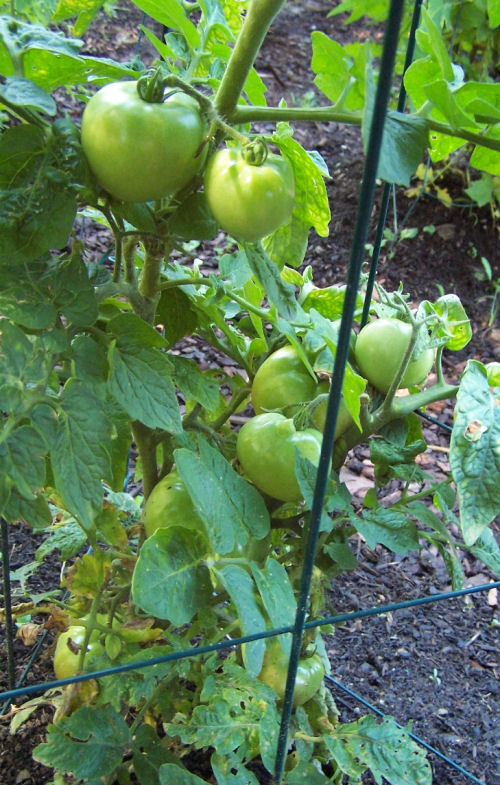 close up of tomatoes before the squirrels.