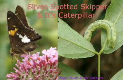 Silver spotted skipper butterfly and the caterpillar that will become one.