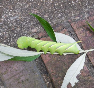This tobacco hornworm devoured the leave of so many branches on my butterfly bush.