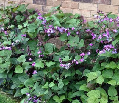 Purple bean seed.