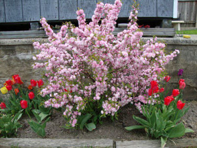 Pink Almond Bush and Tulips