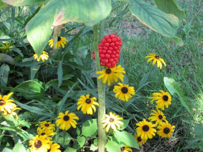 Black eyed Susan's and seed pod from Jack in the pulpit.