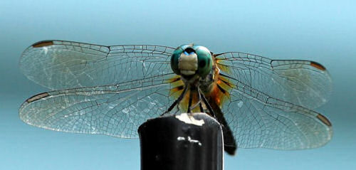 Dragonfly perched on a porch post