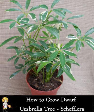 Schefflera arboricola 'Capella' - Umbrella plant