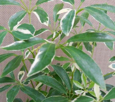 Schefflera arboricola 'Capella' - Umbrella plant leaves