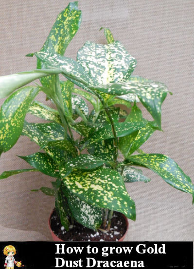 How to Grow Gold Dust Dracaena