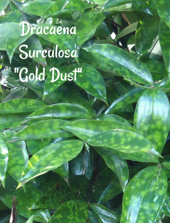 Dracaena Surculosa - Tips for Growing Dracaena Gold Dust Plant