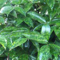 Leaves of gold dust dracaena