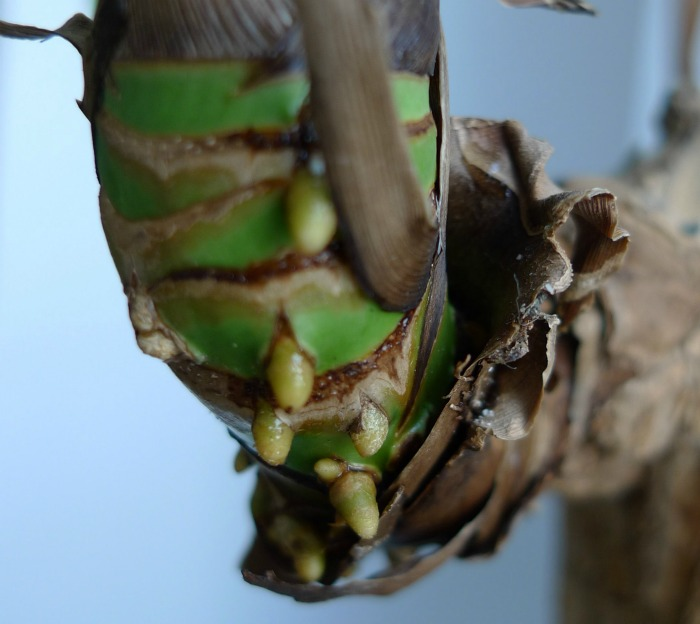 Aerial roots of a corn plant