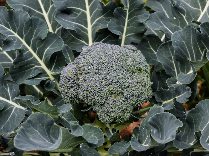 If you live in warmer zones, plant some broccoli now for fall