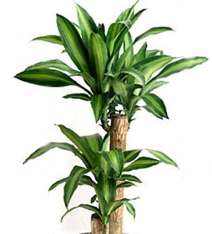 Dracaena growing tips