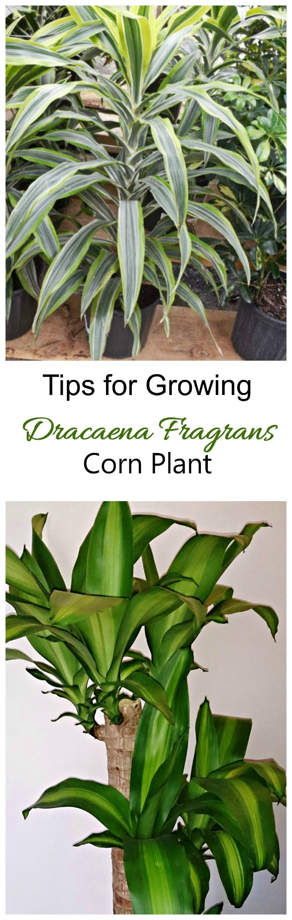 These tips for growing dracaena fragrans show how easy this house plant is to manage. #dracaenafragrans #cornplants
