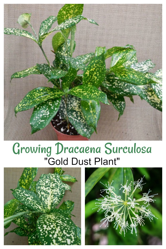 How to grow Dracaena surculosa