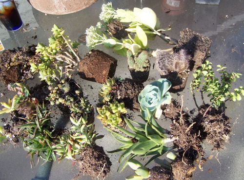 plants ready for repotting