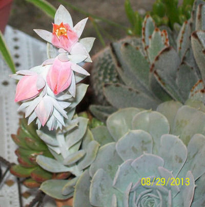 Echeveria getting ready to flower